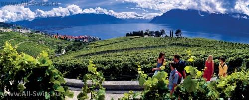 Виноградники в окрестностях города Морж